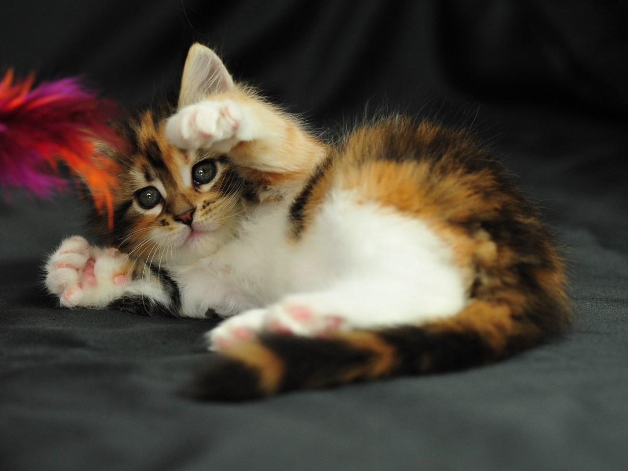 Pisici de vanzare maine coon bucuresti