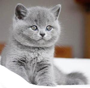 British Shorthair Blue de vanzare
