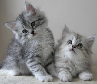 Pisici de vanzare